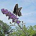 MTBobbins Photography - Black Swallowtail Up
