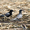 James Peterson - Black Terns Courtship