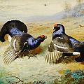 Archibald Thorburn - Blackcocks at the Lek