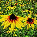 Mike Martin - Blackeyed Susans...