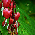 Pamela Patch - Bleeding Heart Plant...