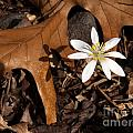 Anna Lisa Yoder - Bloodroot on Forest...
