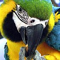 Andrea Lazar - Blue and Gold Macaw with...