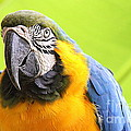 Catherine Sherman - Blue and Yellow Macaw