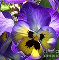 Cathy Lindsey - Blue and Yellow Pansies