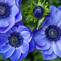 Jenny Rainbow - Blue Anemones. Flowers...