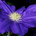 Bruce Bley - Blue Clematis