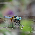 Donna Brown - Blue Dasher Dragonfly