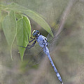 Tessa Fairey - Blue Dasher Dragonfly