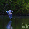 Paul Ward - Blue Heron in Flight