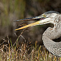 Heron  Images - Blue Heron Pictures 2