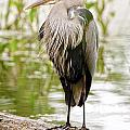 Heron  Images - Blue Heron Pictures 28