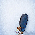 Julie Magers Soulen - Blue Jay Feather on Snow