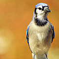 Geraldine Scull ART - Blue Jay In Front Of...