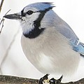 Lori Frisch - Blue Jay on a Cold Day