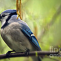 Lois Bryan - Blue Jay on a Misty...
