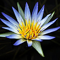Jessy Willemse - Blue Lily