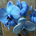 Gerry Smith - Blue Orchids
