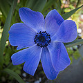 Phil Abrams - Blue Poppy