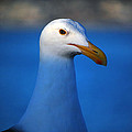 Debra Thompson - Blue Seagull