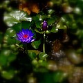 Nick Kloepping - Blue Water Lily