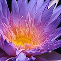 Bruce Bley - Blue Waterlily 2