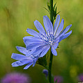 Minartesia - Blue Wildflower Chicory