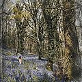 Curtis Radclyffe - Bluebell Forest in...
