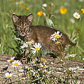 Myrna Bradshaw - Bobcat Kitten in the...