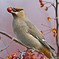 John Vose - Bohemian Waxwing with...