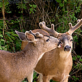Peggy Collins - Brotherly Love Deer Bucks