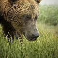 Bear Images - Brown Bear Picture 42