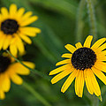 Photographic Arts And Design Studio - Brown eyed susans