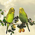 IM Spadecaller - Budgerigars in Kumquat...