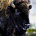 Nadine and Bob Johnston - Buffalo in Yellowstone...
