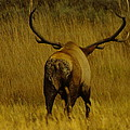 Jeff  Swan - Bull Elk On The Move