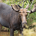 Victoria  Dauphinee - Bullwinkle Drinking