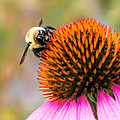 Jim Hughes - Bumble Bee on Coneflower