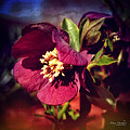 Mary Machare - Burgundy Hellebore Flower
