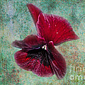 Donna Brown - Burgundy Pansy