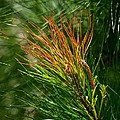 Maria Urso - Artist and Photographer - Burnished Pine