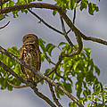 Anne Rodkin - Burrowing Owl In Tree