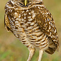 Jerry Fornarotto - Burrowing Owl