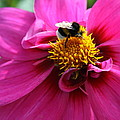 Christiane Schulze Art And Photography - Busy Bumble Bee
