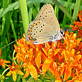 Soul Full Sanctuary Photography By Tania Richley - Butterfly Milkweed