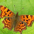 Rumyana Whitcher - Butterfly on a vine leaf