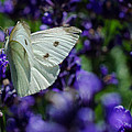 Jordan Blackstone - Cabbage Butterfly on...