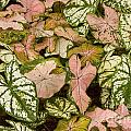 Bob Phillips - Caladium Leaves