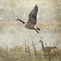 Angie Vogel - Canada Geese 2