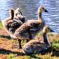 Bob and Nadine Johnston - Canada Geese Goslings